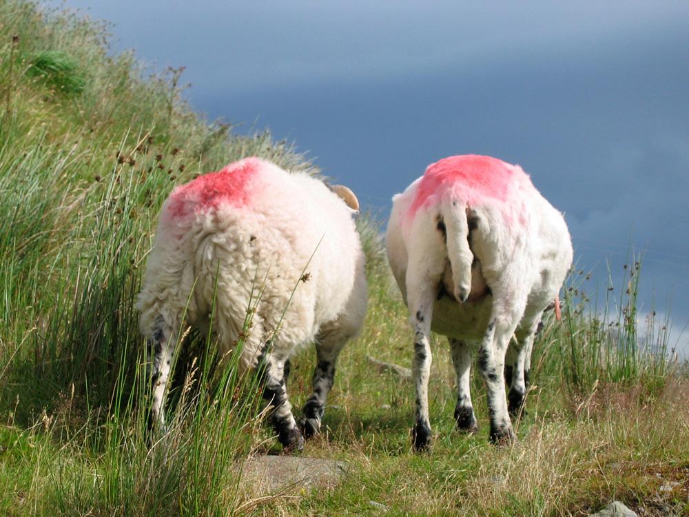 Deux moutons filles