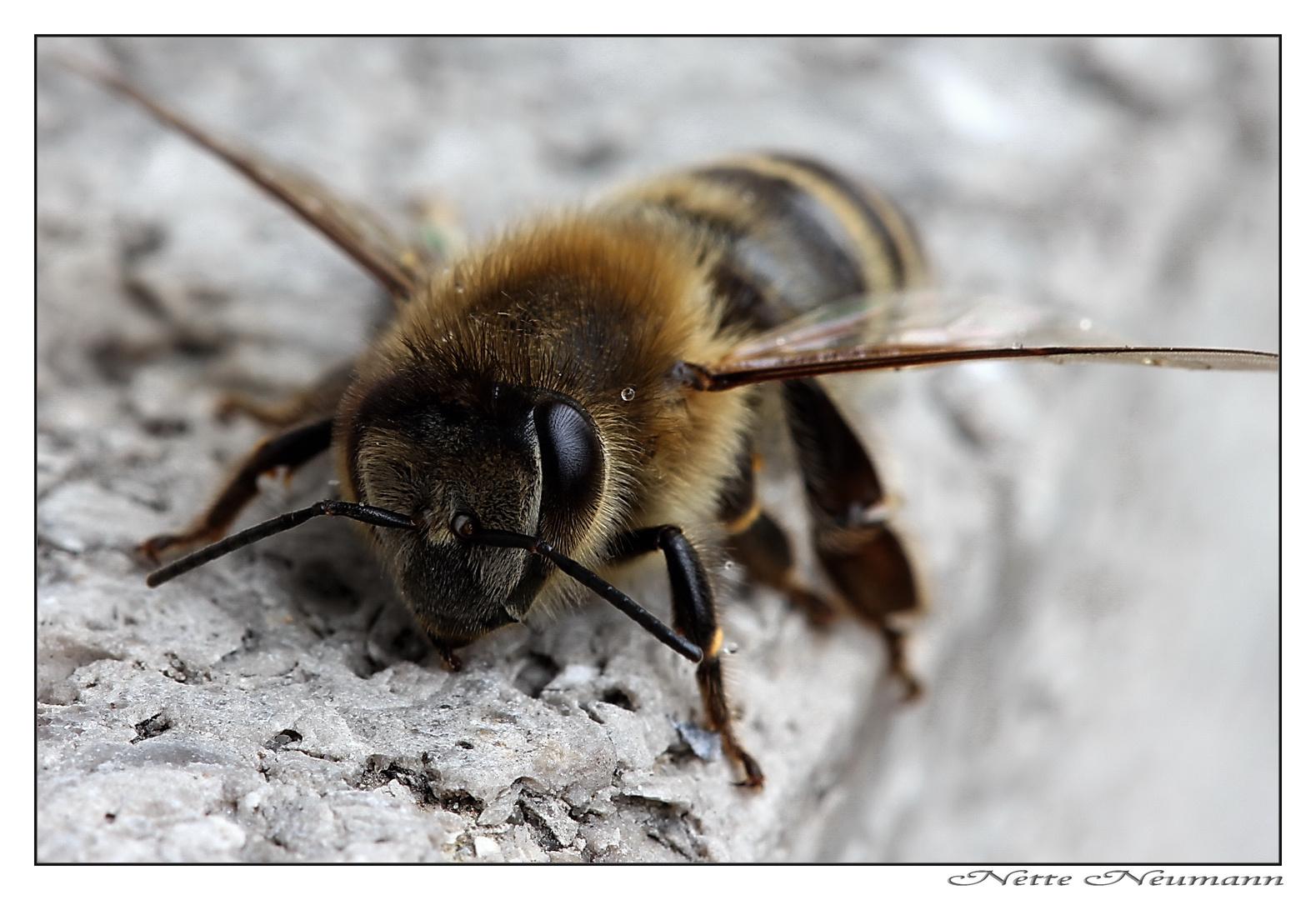 Dezember-Biene