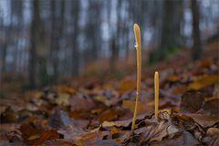 Dezember-Pilze