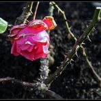 Dezember-Rose mit Dornen
