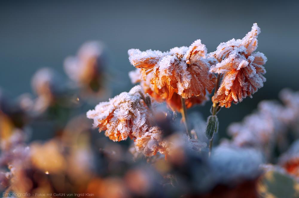 Dezemberblumen