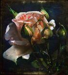Di notte, rosa d'oriente