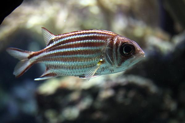Diadem Husarenfisch