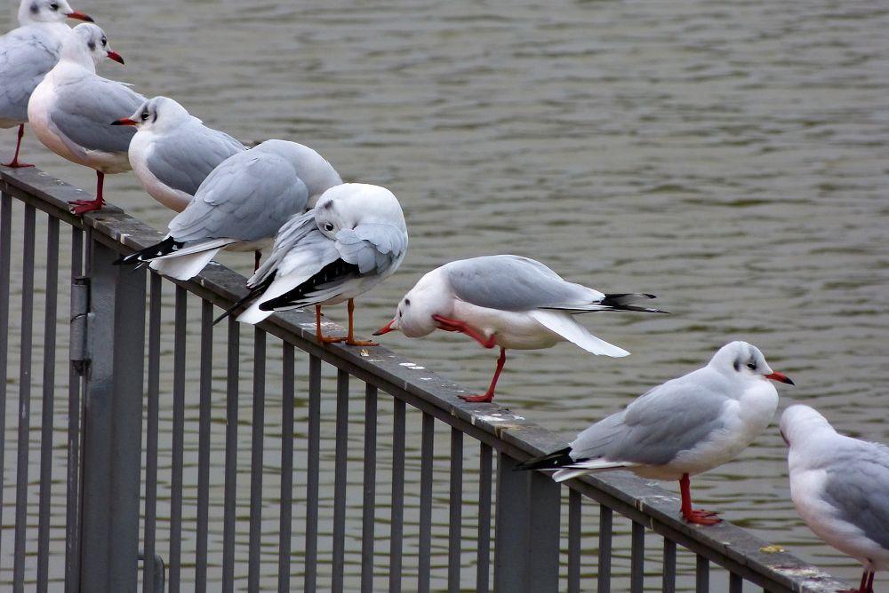 Diagonal of the seagulls