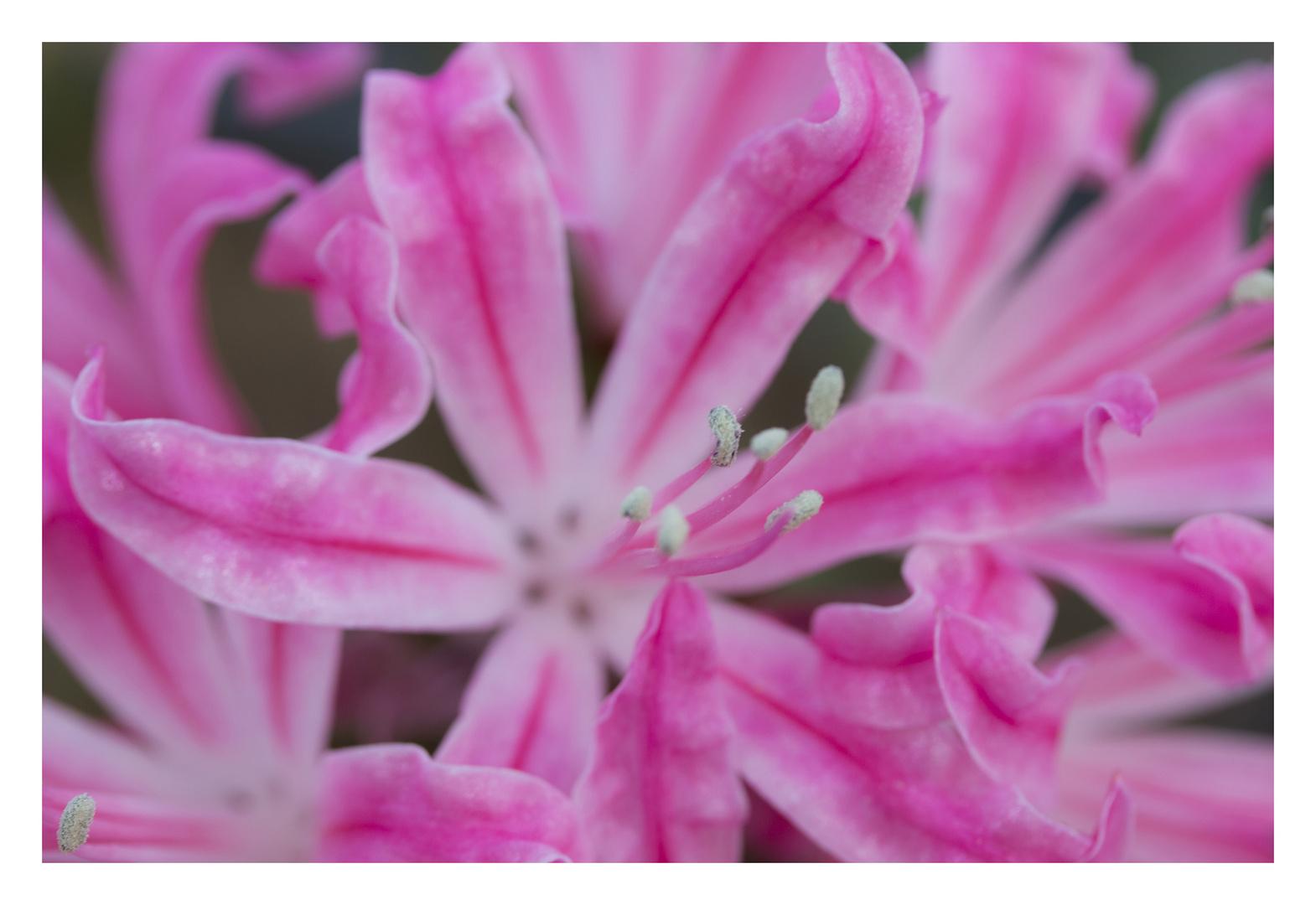 Diamond Lily -1