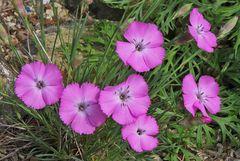 Dianthus spec.