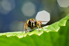 Diaphragm and hoverfly