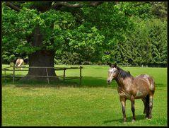 Dicke Eiche mit Pferden