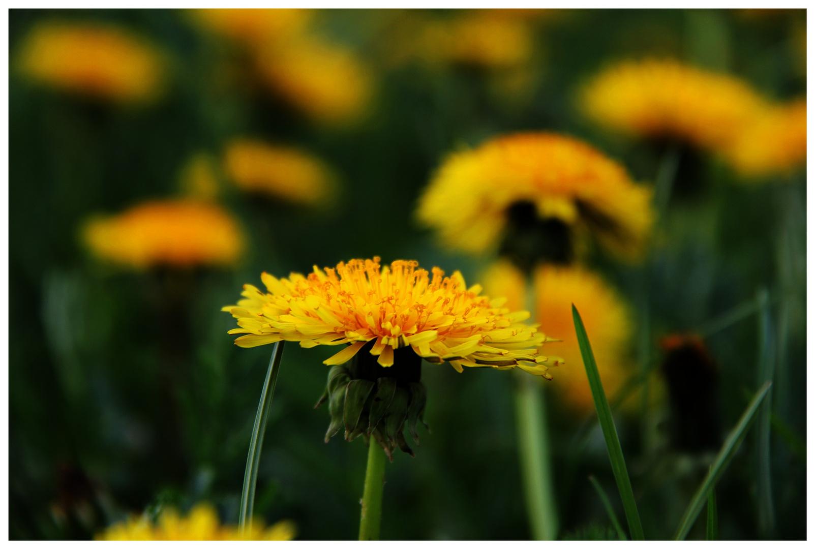 Dicke gelbe Butterblume bald bist du ne Pusteblume!