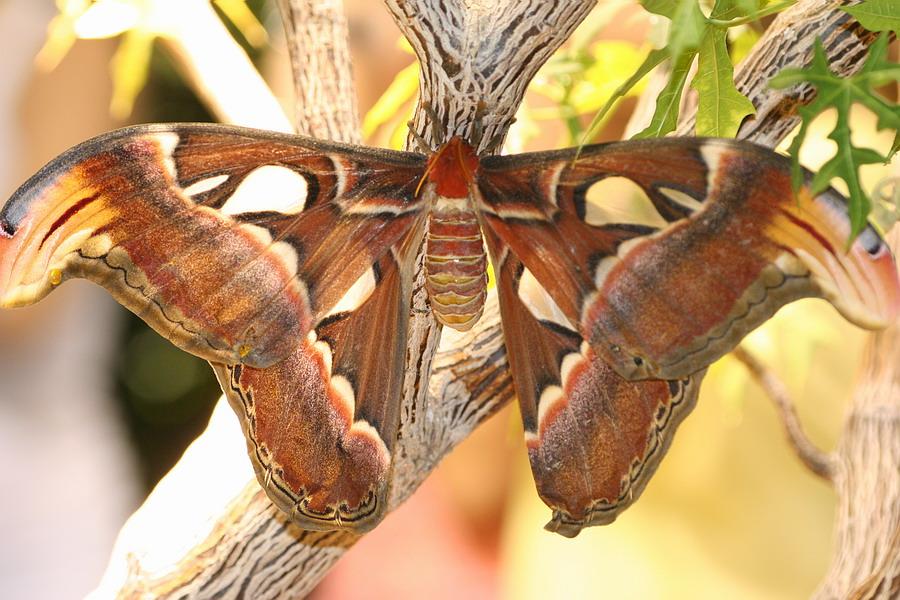 Dicker Schmetterling