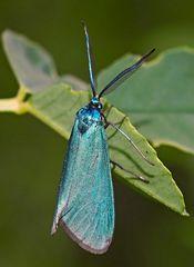 Dickfühler- od. Flockenblumen-Grünwidderchen, Jordanita subsolana od. globulariae - Papillon.