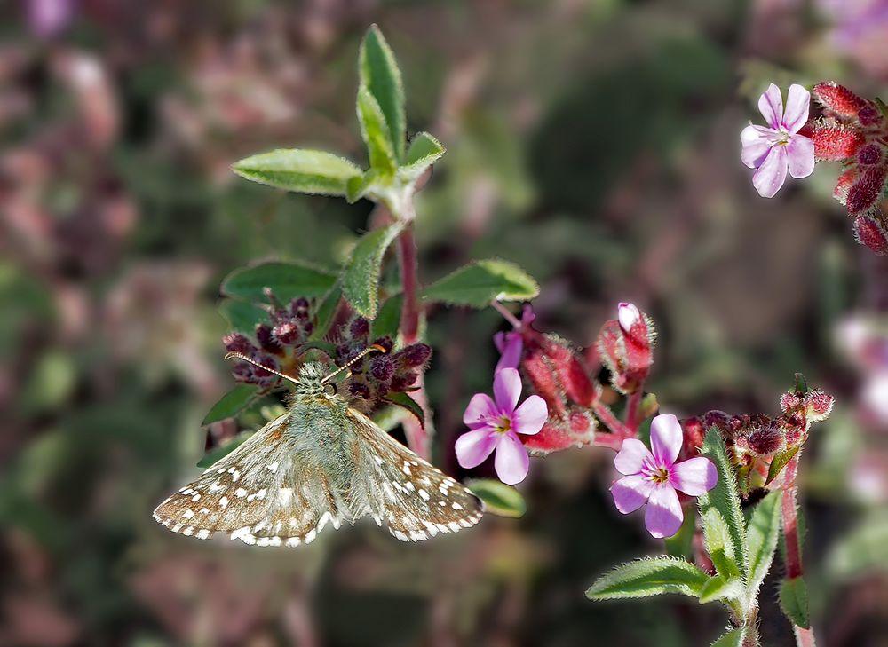 Dickkopffalter: Pyrgus sp... * - Un beau petit papillon!