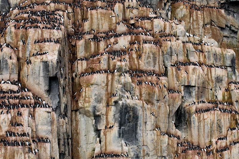 Dickschnabellummen, Brünnich's guillemots, Svalbard