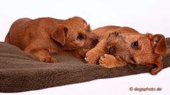 Die 3 Feger - Bruder, Schwester und der Handfeger .......Irish Terrier Welpen