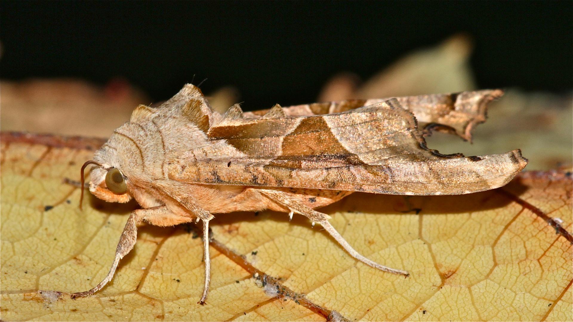 Die Achateule (Trigonophora meticulosa)  (Bild 4) . . .