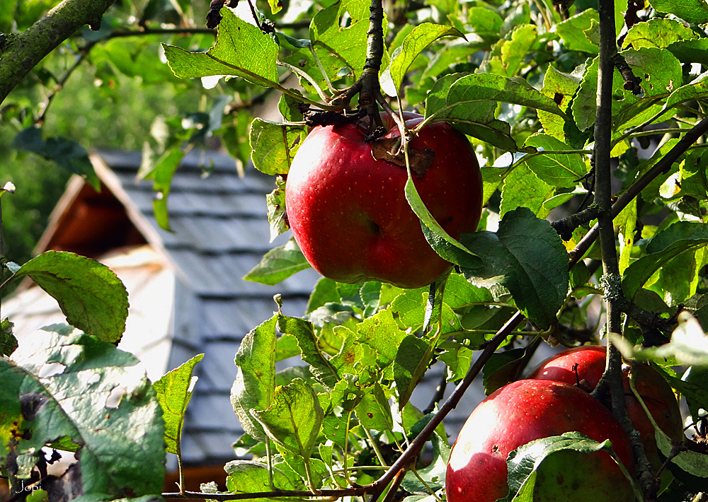 Die Äppel von Düppel II