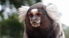 Die Affen Sao Paulos