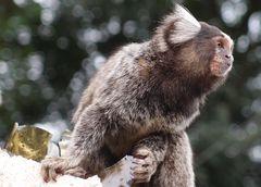 Die Affen Sao Paulos bei Freunden im Garten