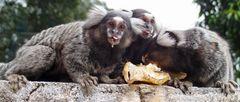 Die Affen Sao Paulos klauen Bananen