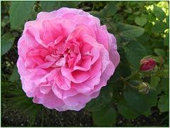 Die allererste Rose ....