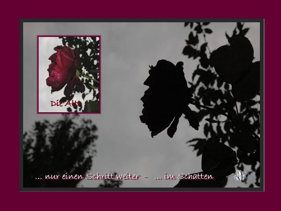 Die alte Rose - Licht und Schatten - by baeredel