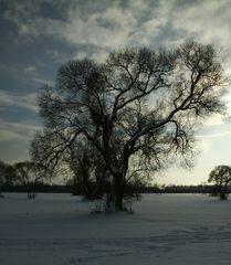 Die alten Weidenbäume 2