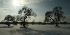 Die alten Weidenbäume