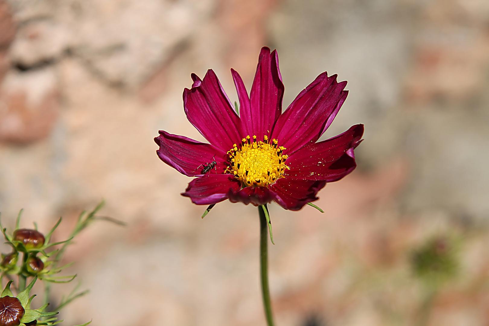 Die Ameise auf der Blüte