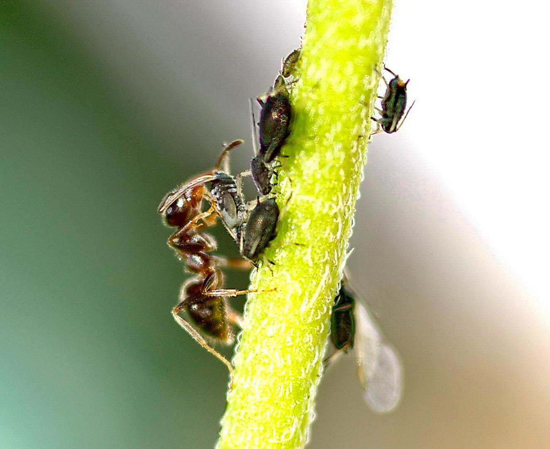 """Die Ameise beim Blattläuse """"melken"""""""