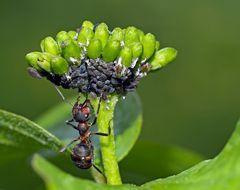 Die Ameise melkt ihre geliebten Blattläuse! - La fourmi trait les pucerons!
