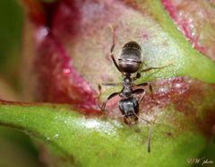 die Ameise zeigt ihre Werkzeuge...