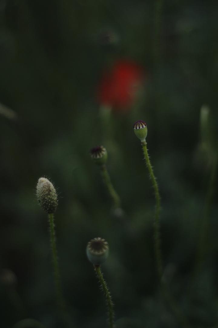 Die andere Mohnblume