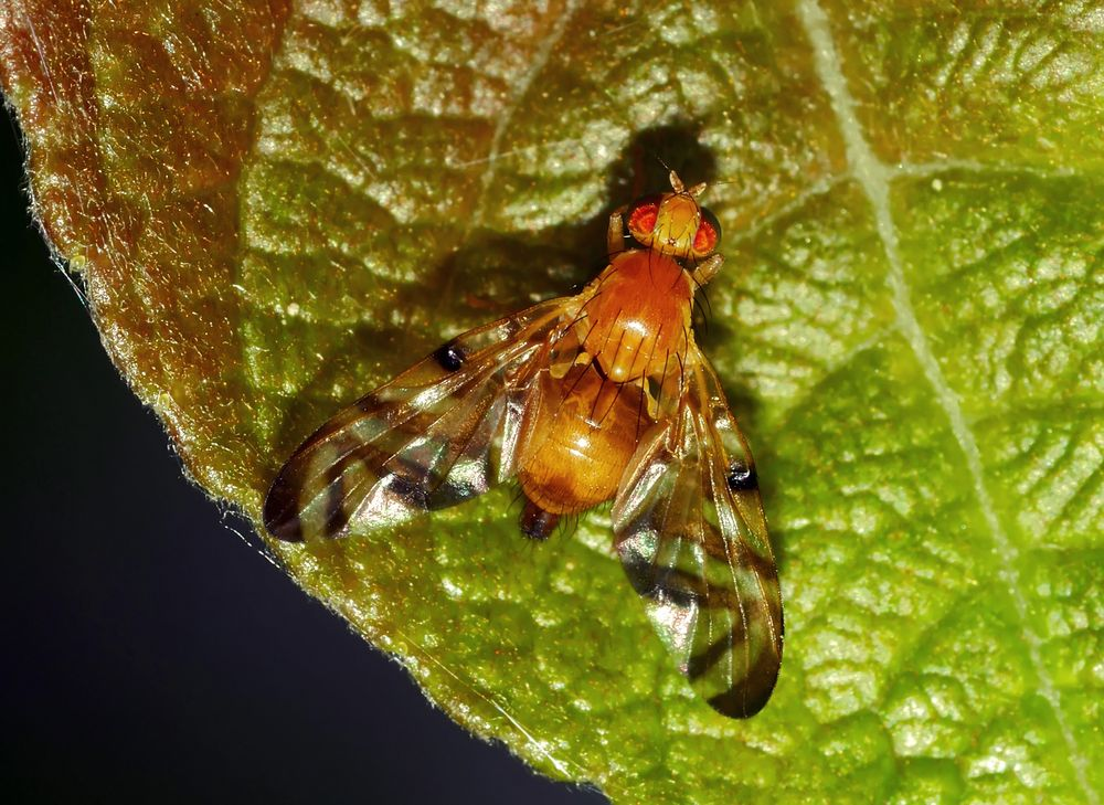 Die anhängliche Bohrfliege (Myoleja lucida)! - Petite mouche à fruits...