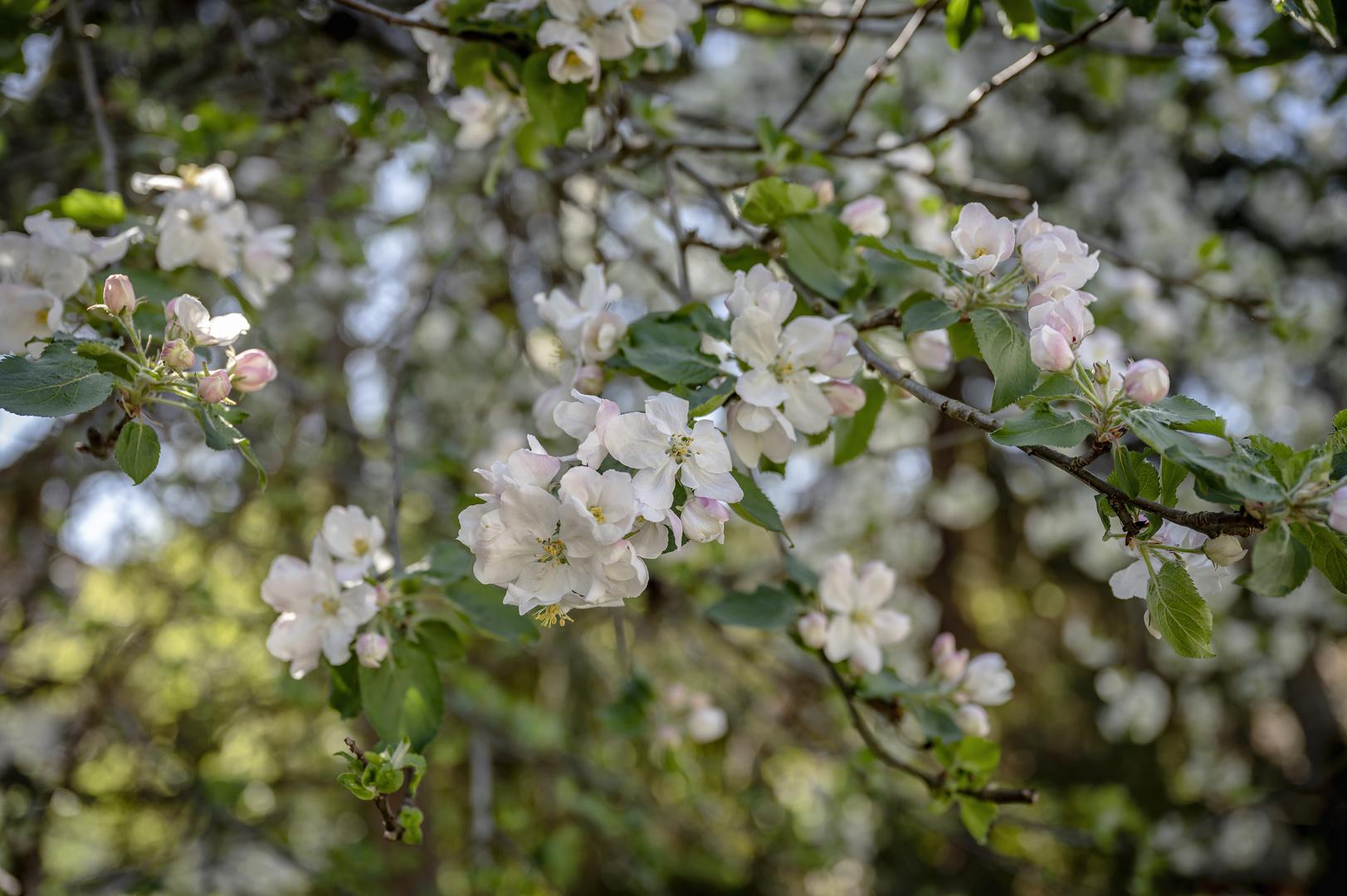 Die Apfelblüten in diesem Jahr