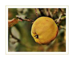 Die Apfelquitte ...