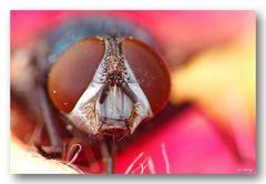 Die Augen einer Fliege