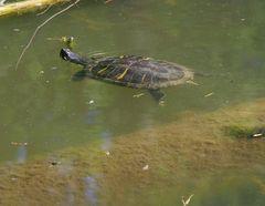 die ausgewilderte Hausschildkröte im Stuttgarter Trinkwasserspeicher Bärensee
