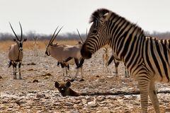 Die badende Hyäne