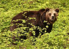 Die Bären sind los......-I-