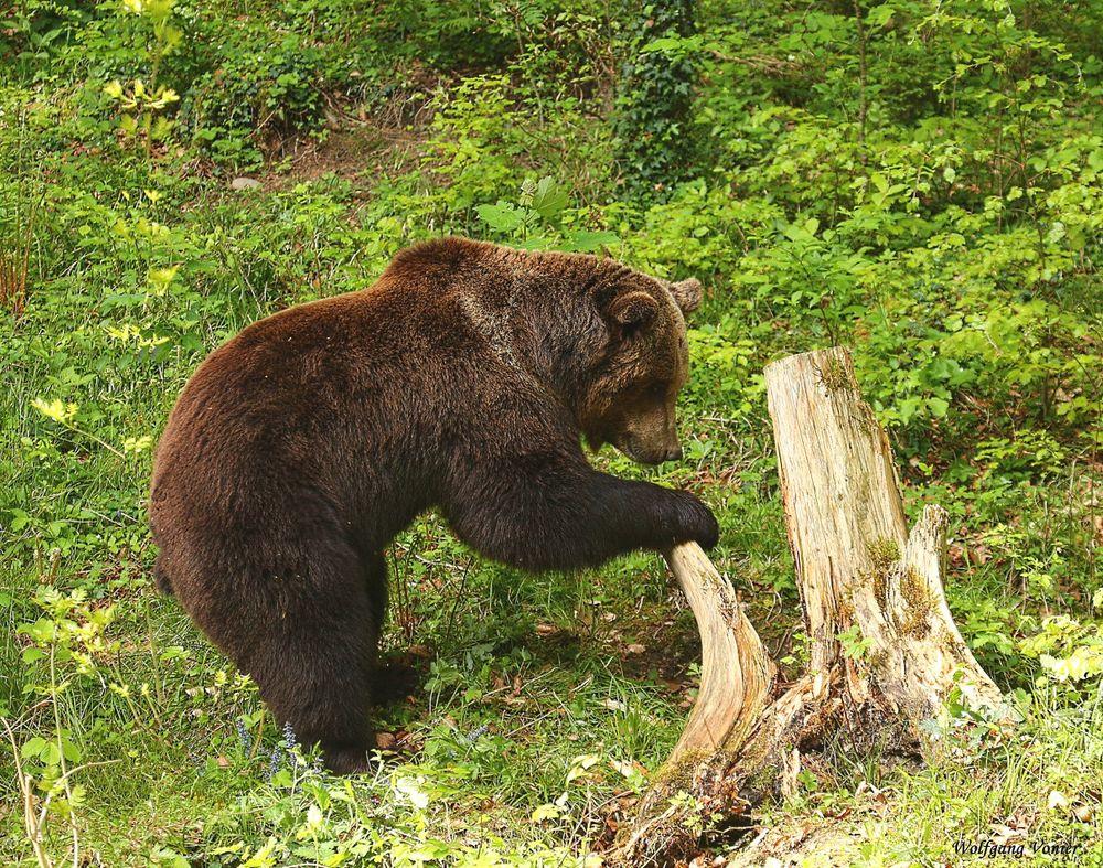 Die Bären sind los.........-V-