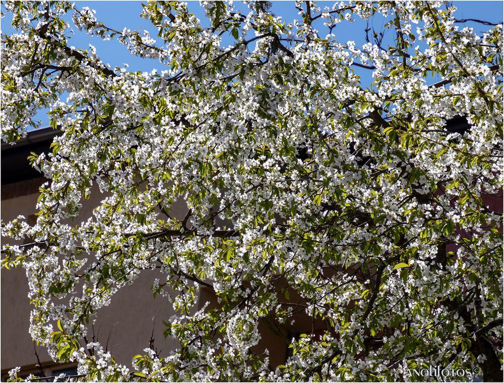 Die Bäume blühen