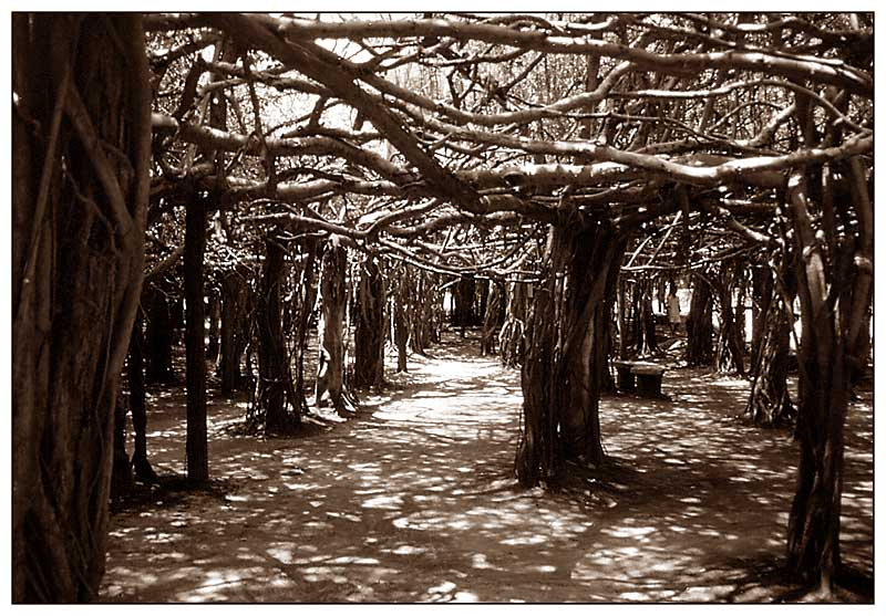 Die Banyanbäume von Sai-Ngam - Phimai, Thailand
