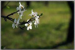 die Baumblüten sprießen...