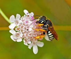 Die bedrohte Harzbiene (Anthidium interruptum)! Es verbergen sich noch zwei - seht ihr sie? *