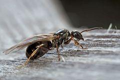 Die beflügelte kleine Ameise!  -  Une petite fourmi ailée...
