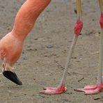 Die Beine des Flamingos