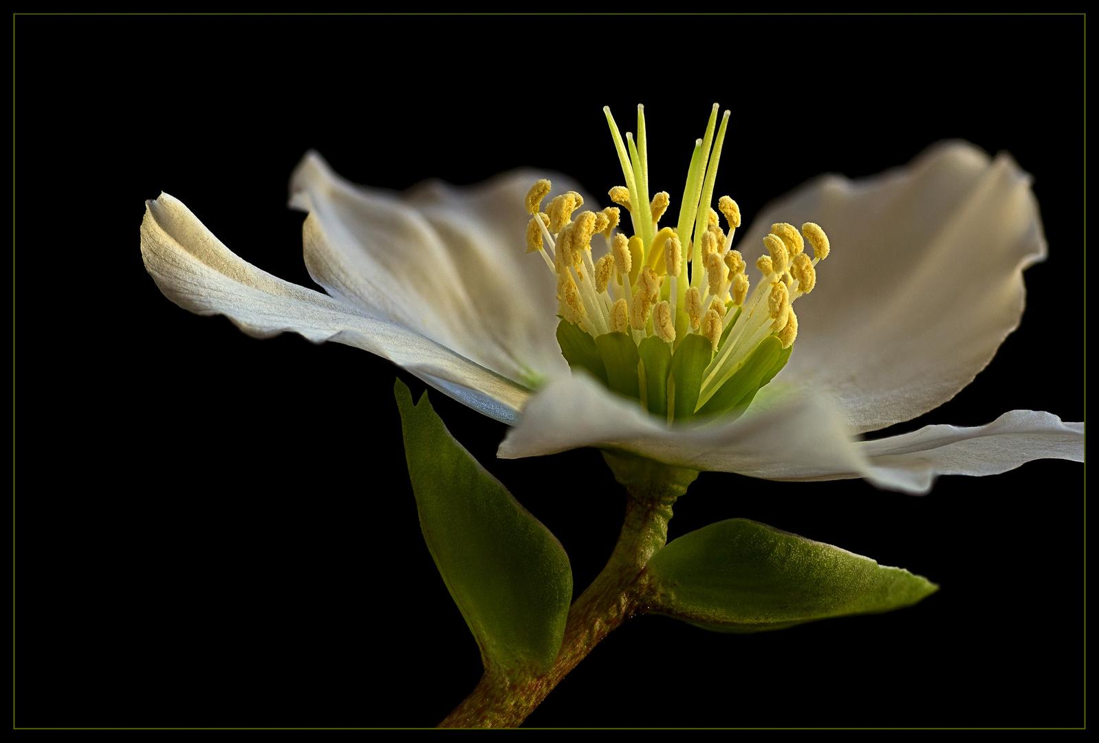Die beliebte Christrose ist in jedem winterlichen Garten ein Höhepunkt