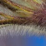 Die Berg-Anemone (Pulsatilla montana) erwacht aus dem Winterschlaf! - Anémone de montagne.