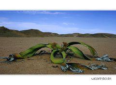 Die berühmteste Pflanze in Namibia...