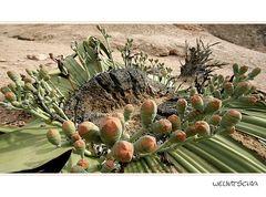 Die berühmteste Pflanze in Namibia... (Teil II)